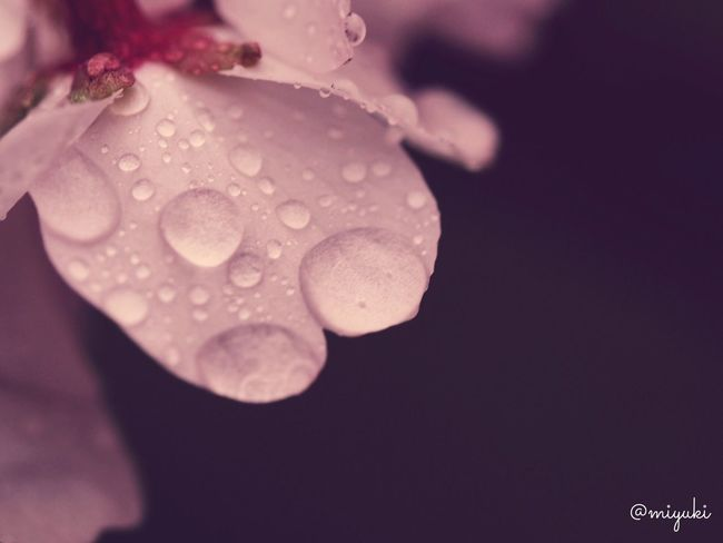 大雨だった松前の桜。 Cherry Blossoms Flowers Flowerporn Rainy Days EyeEm Nature Lover