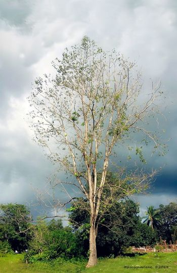 Bare Tree Beauty In Nature Branch Cloud - Sky Cloudscape Cloudy Countryside Day Green Green Color Growth Nature No People Non-urban Scene Outdoors Remote Scenics Single Tree Sky Solitude Tourism Tranquil Scene Tranquility Tree Tree Trunk
