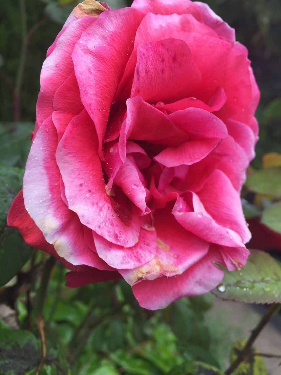 Rose🌹 Flowers Pinkroses Photography Nature Photography Amazing Flowers, Nature And Beauty Flowers