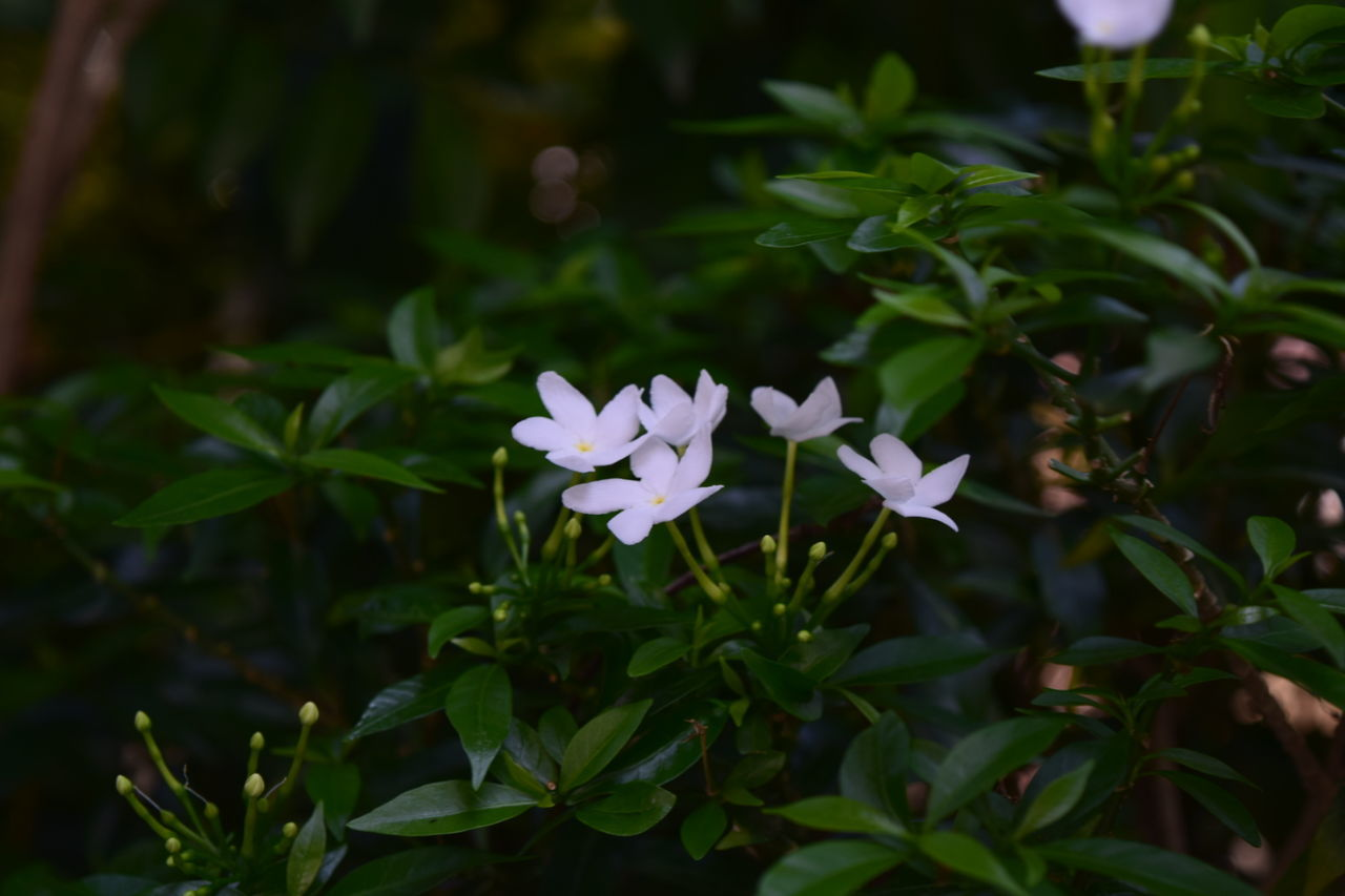Flowers Flower White Flower Thailand