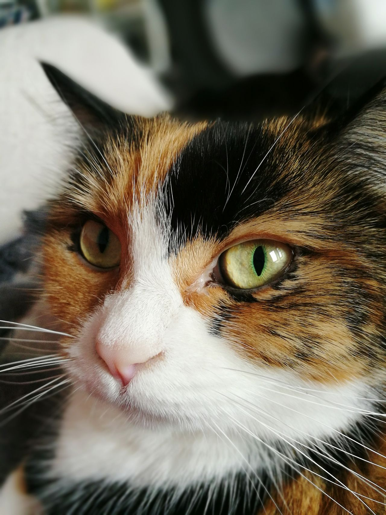 One Animal Animal Themes Domestic Cat Pets Domestic Animals Looking At Camera Feline Portrait Close-up No People No Filter, No Edit, Just Photography Indoors  Katzenliebe My Cat Cats Of EyeEm Cat Mycat♥ Looking At Camera My Cats Premium Collection