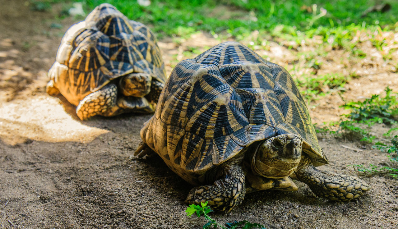 Animal Shell Animal Themes Animal Wildlife Animals In The Wild Close-up Day Full Length No People Non-urban Scene Outdoors Pets Reptile Sea Life Shield Slow Sri Lanka Three Animals Togetherness Tortoise Tortoise Shell Zoology