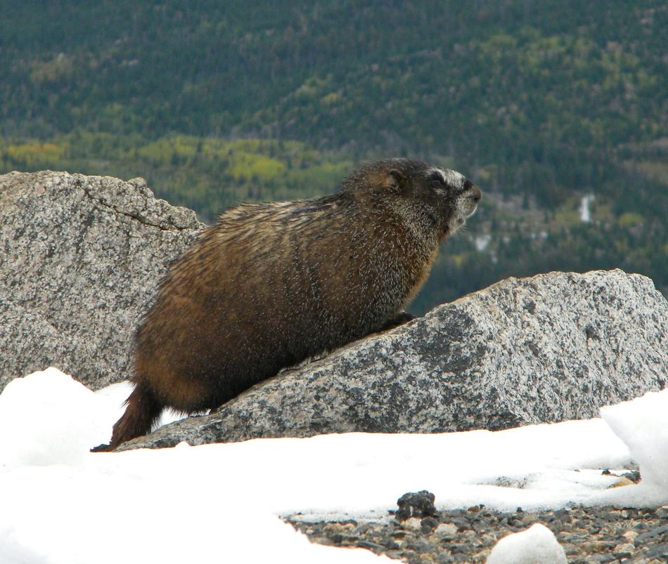 Animals In The Wild Animal Themes One Animal Animal Wildlife Nature Snow Outdoors No People Cold Temperature Close-up Ground Hog Prairie Dog Lookout Mountain