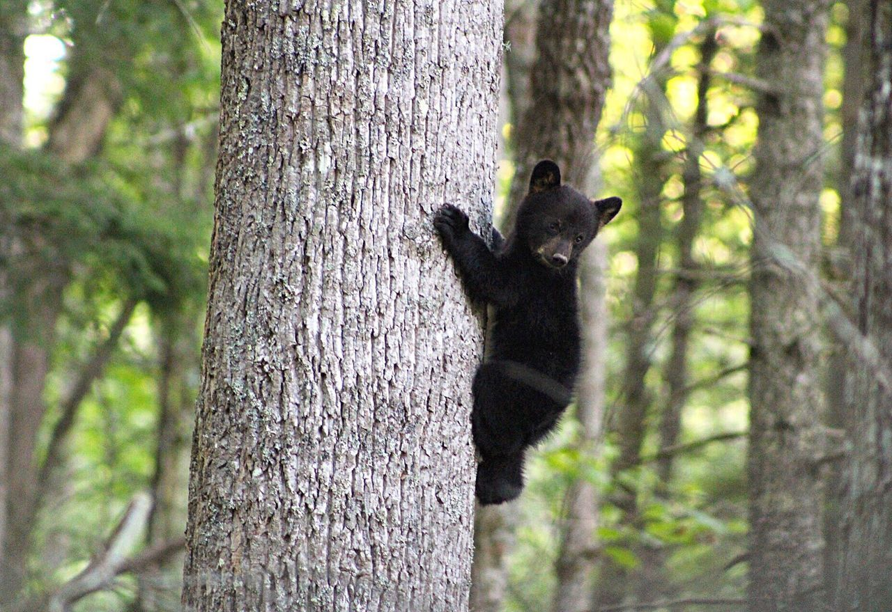 Baby cub learning to climb 🐻 Animal Wildlife Tree Nature Animals In The Wild Climbing Forest Outdoors Close-up Bear Babybear Animaladdicts Animal Activists Wildlife Photography First Eyeem Photo