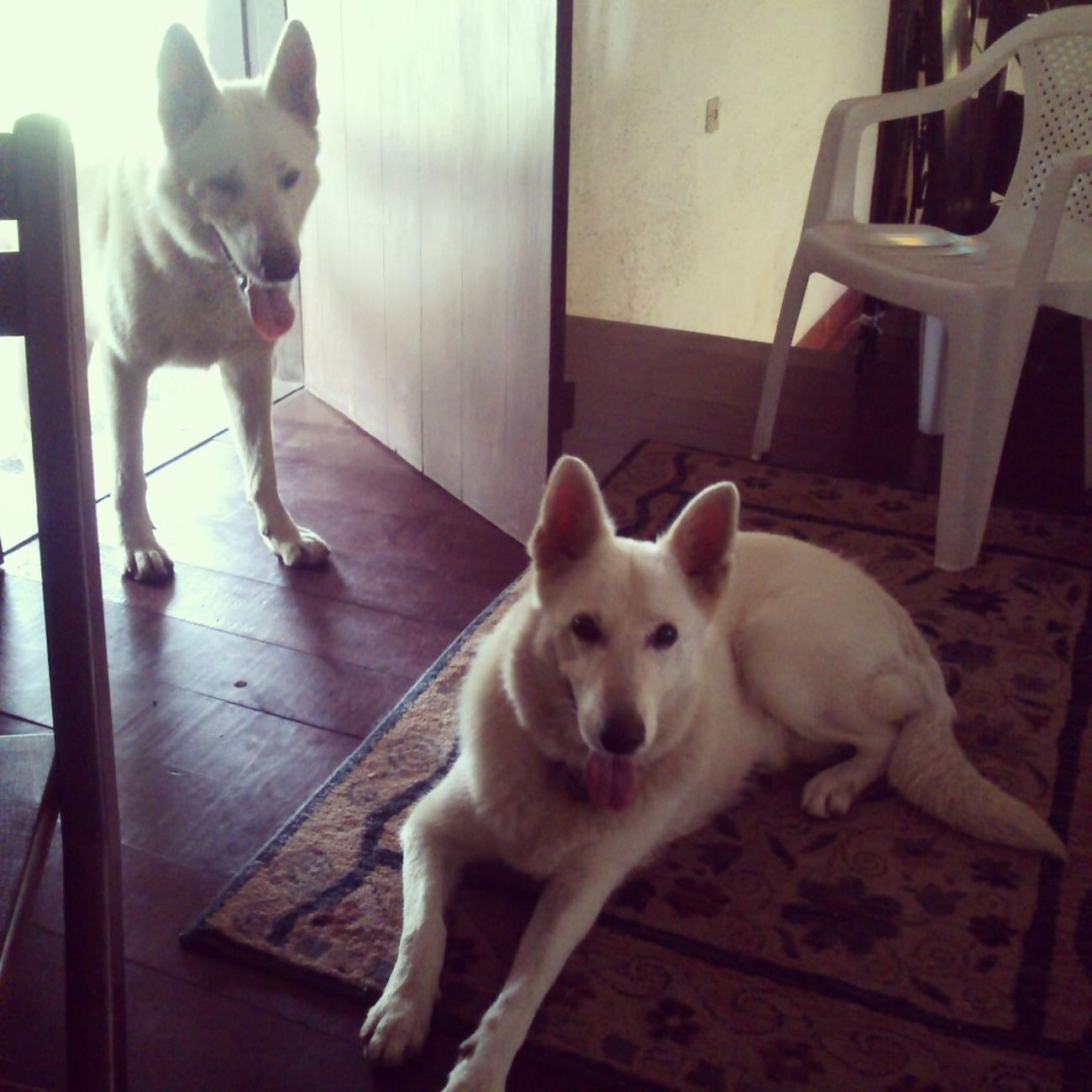 thor's parents Dog Berger Blanc Suisse White Shepard Cute Couple