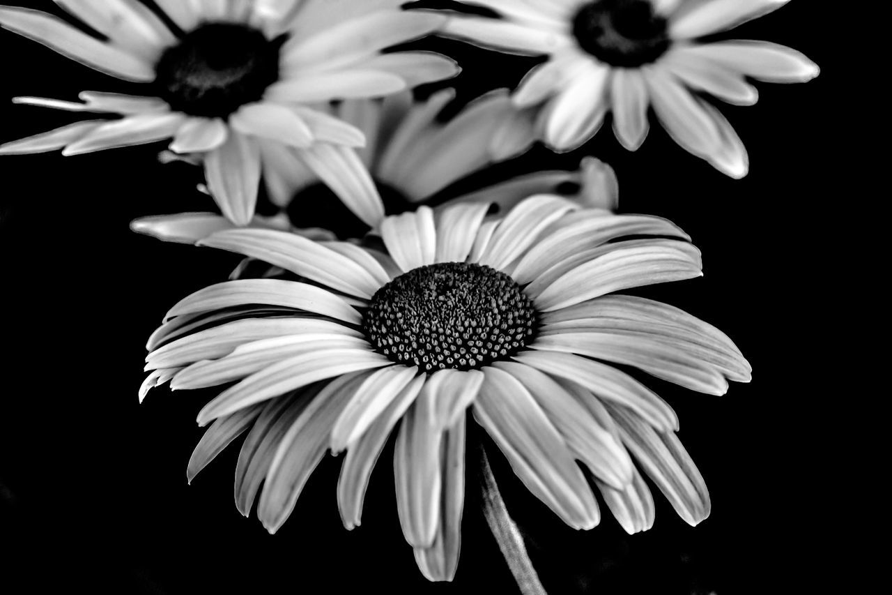 Daisies in Black and White HDR B & W Photography Beauty In Nature Black And White Black And White Hdr  Black And White Hdr  Black And White Photography Black Background Bloom Close-up Daisies Daisy Detail EyeEm Best Edits Flower Flower Head Focus On Foreground Freshness HDR High Definition Nature Ontario, Canada Petal Selective Focus Showcase September The Week On EyeEm Monochrome Photography
