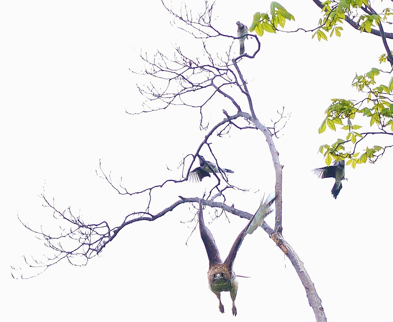 branch, tree, clear sky, bare tree, low angle view, nature, animal themes, beauty in nature, animals in the wild, outdoors, day, growth, flying, no people, one animal, bird, mid-air, animal wildlife, bat - animal, spread wings, sky, flower