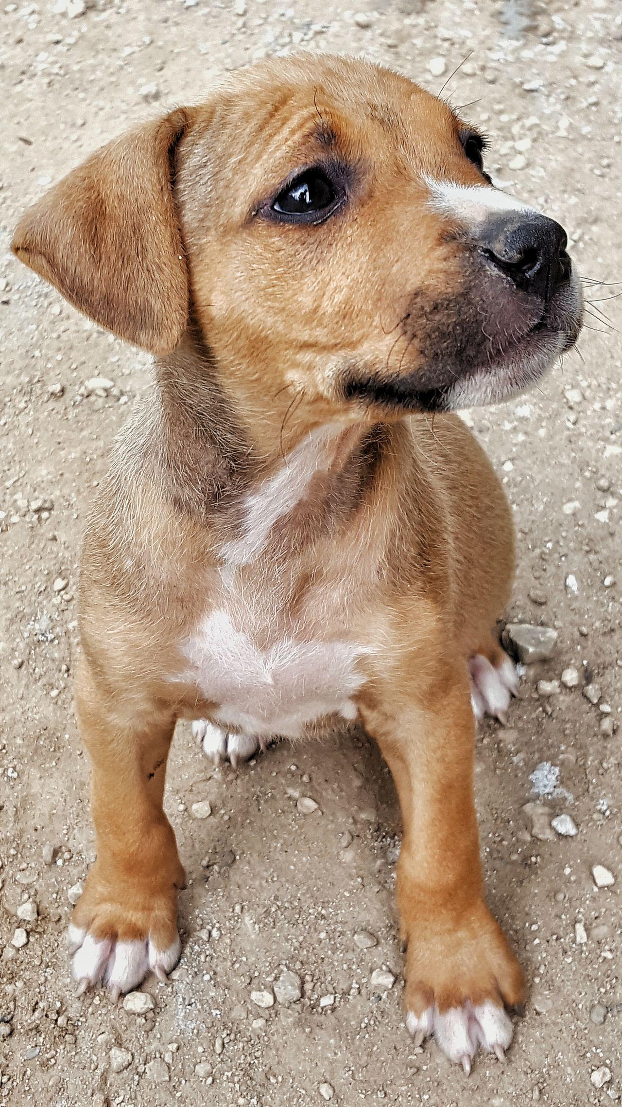 Puppye Poser ❤ Dog Guard Pitbull Pitbulllover Pitbull♥ Love Delicious Outdorphotography