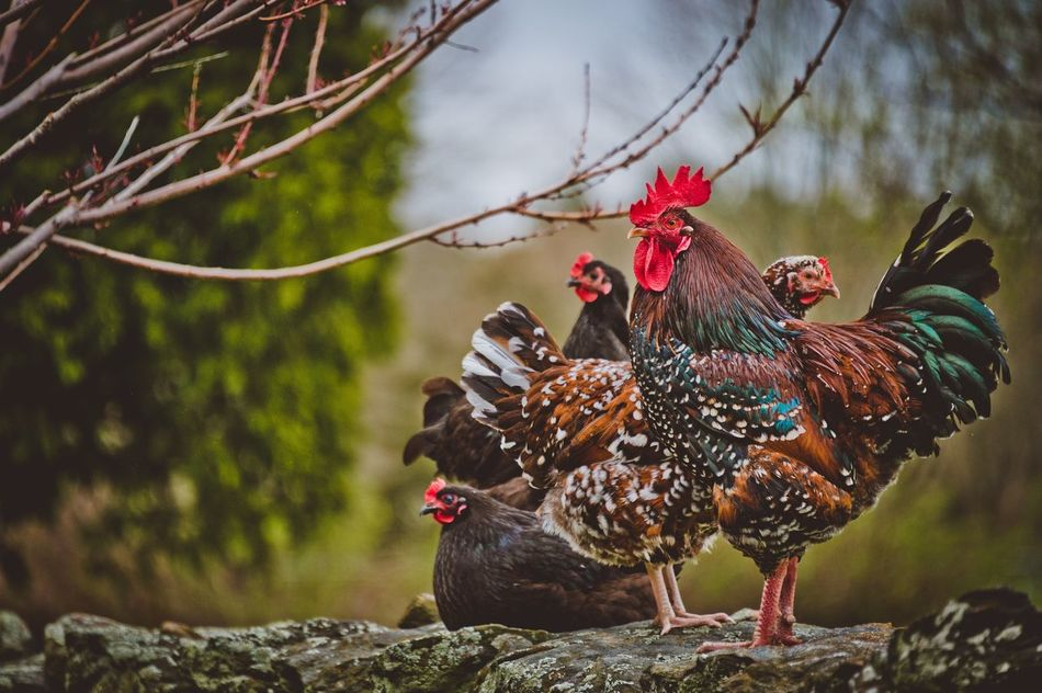 Speckled Sussex Rooster