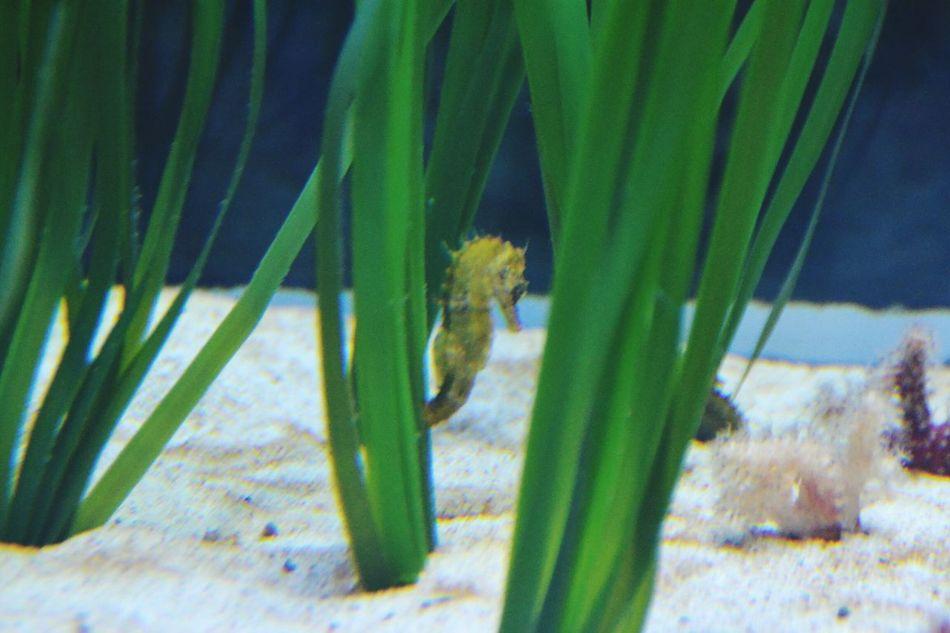 Green Color Nature Plant Water Underwater Sea Life Animal Themes Sea Horse In The Aquarium Sea Horse Aquarium Valencia, Spain Oceanographic