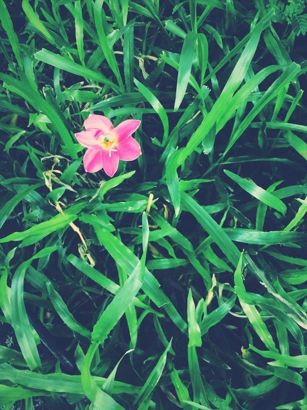 Green Color Growth Flower Fragility Plant Leaf Nature Beauty In Nature Blooming Flower Head Pink Color Periwinkle Freshness Close-up Pinkflower Smallflower