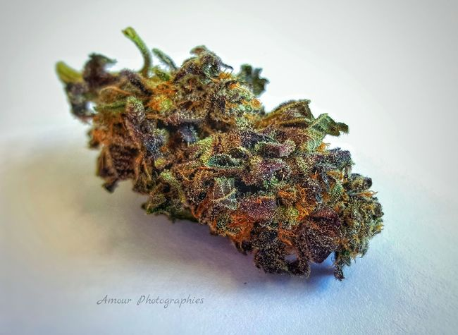 "Deep Purple Bubba . Amour Photographies 2/3 While weighing eighths we found this insanely purple bud and discovered the origin of ""Deep Purple"". Deep Purple Bubba Deep Purple Purple Strain Indica Beautiful Bc Bud Bud Medical Marijuana Cannabis Marijuana Bud Collection High Life Vancouver Island Canada Island Life Island Grown Medical Cannabis Community Welcome To My World Medical Cannabis Hippie Life Organic"