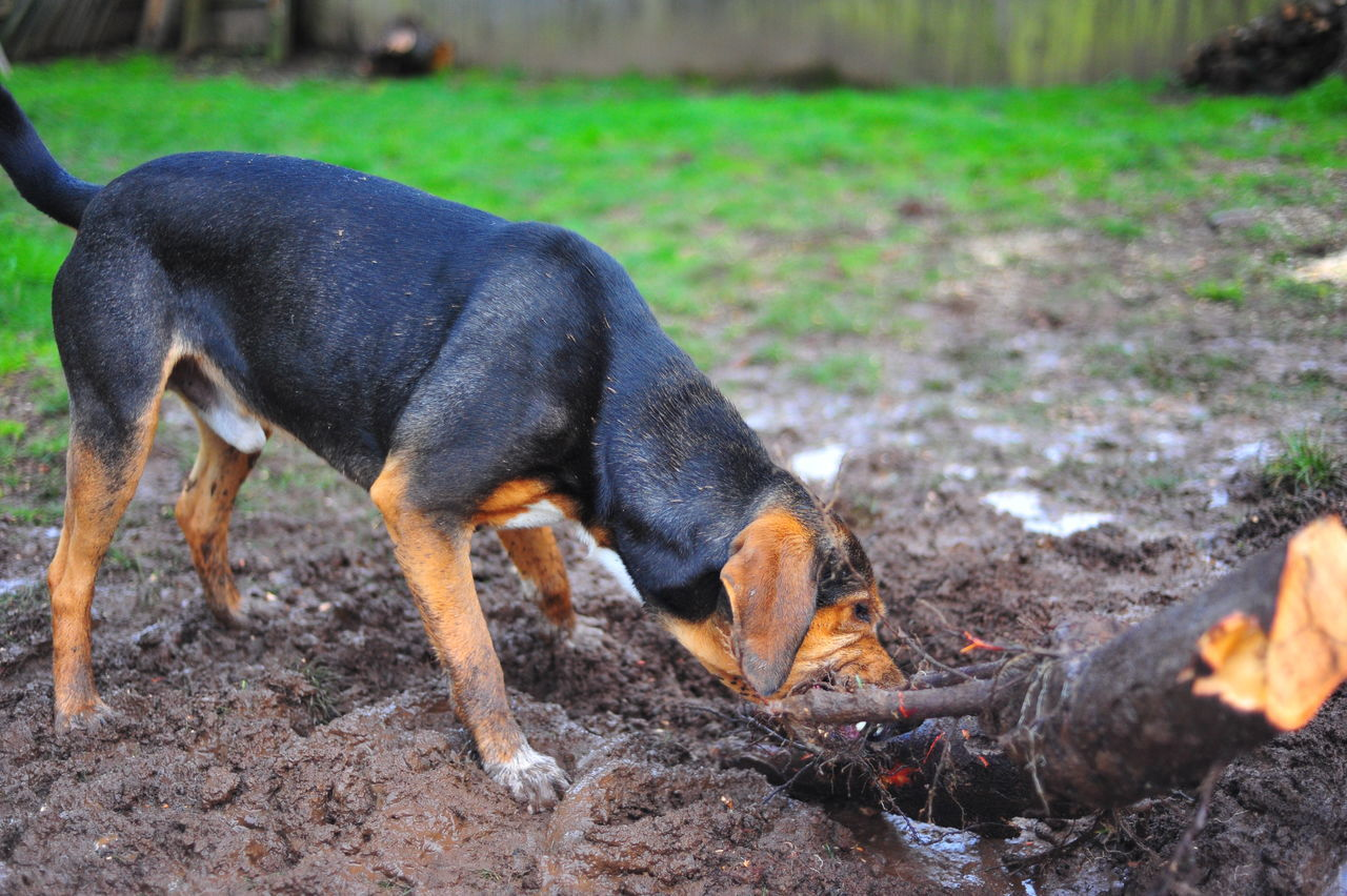 Animal Themes Day Digging Domestic Animals Hound Dog Mammal Nature No People One Animal Outdoors Stick