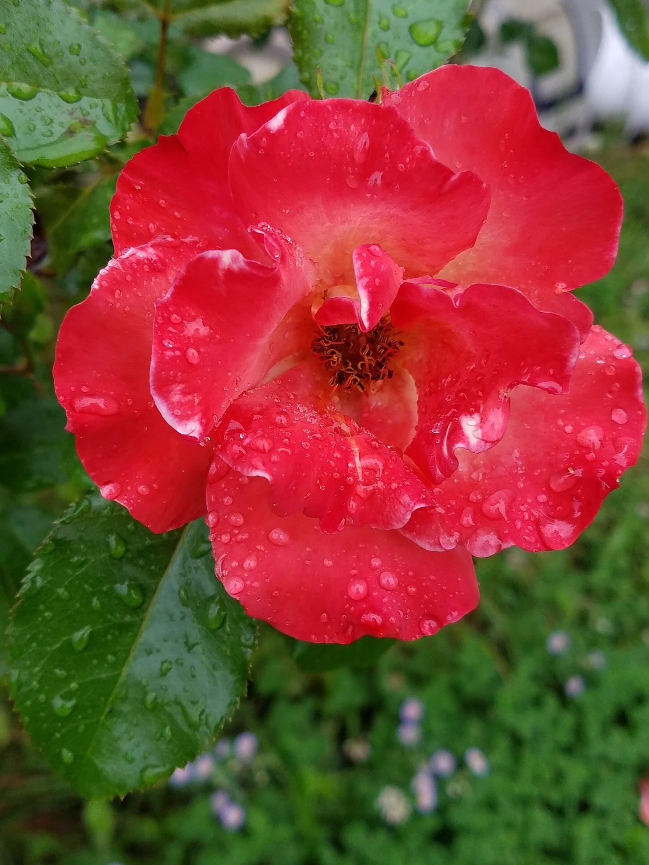 Rainy rose Ujustgotkaied Nature Flowers Dewdrop Dew Rain Roses Garden Petals