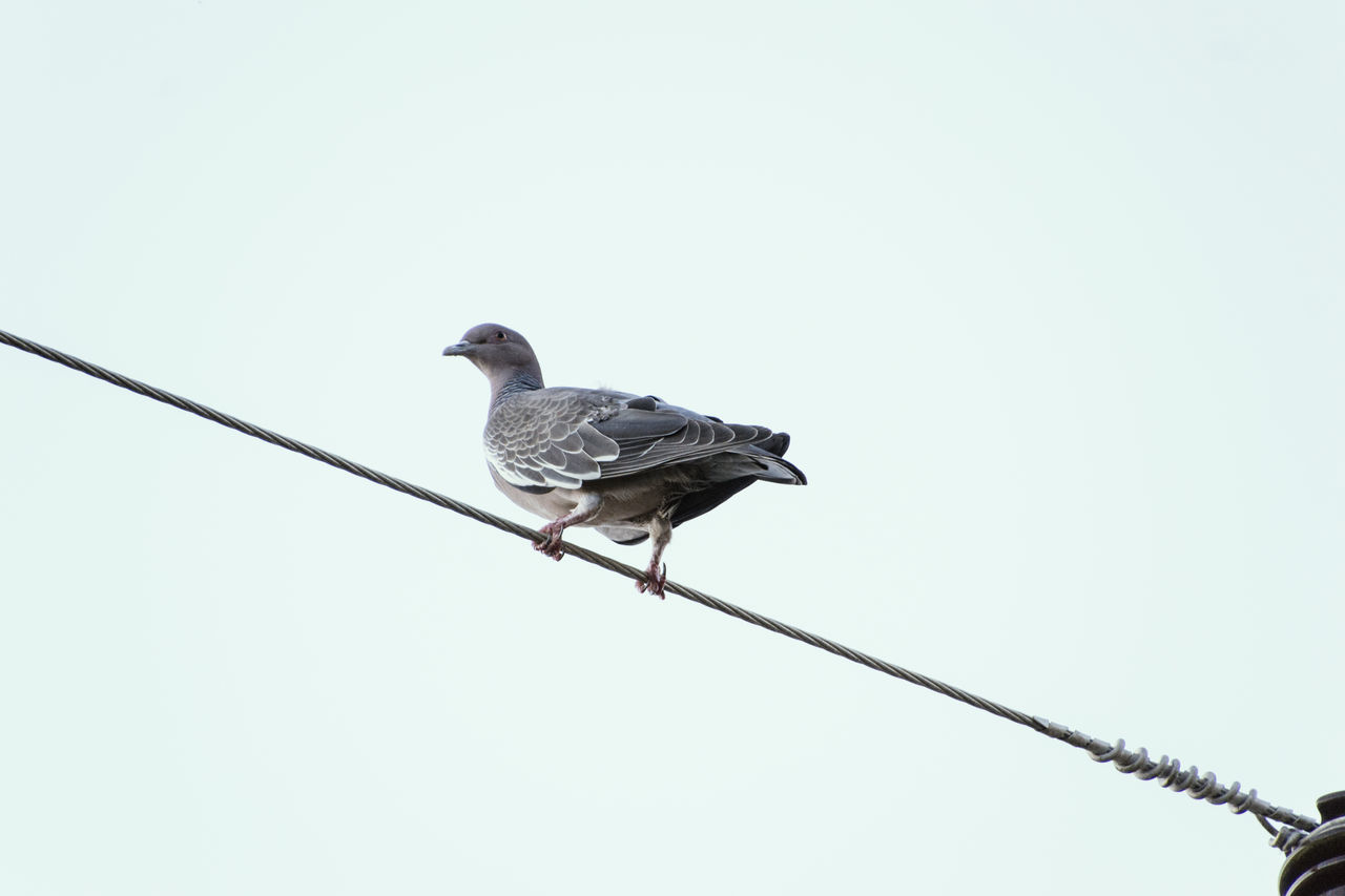 bird, copy space, perching, animals in the wild, animal themes, clear sky, animal wildlife, low angle view, one animal, no people, cable, day, outdoors, nature, sparrow, mourning dove
