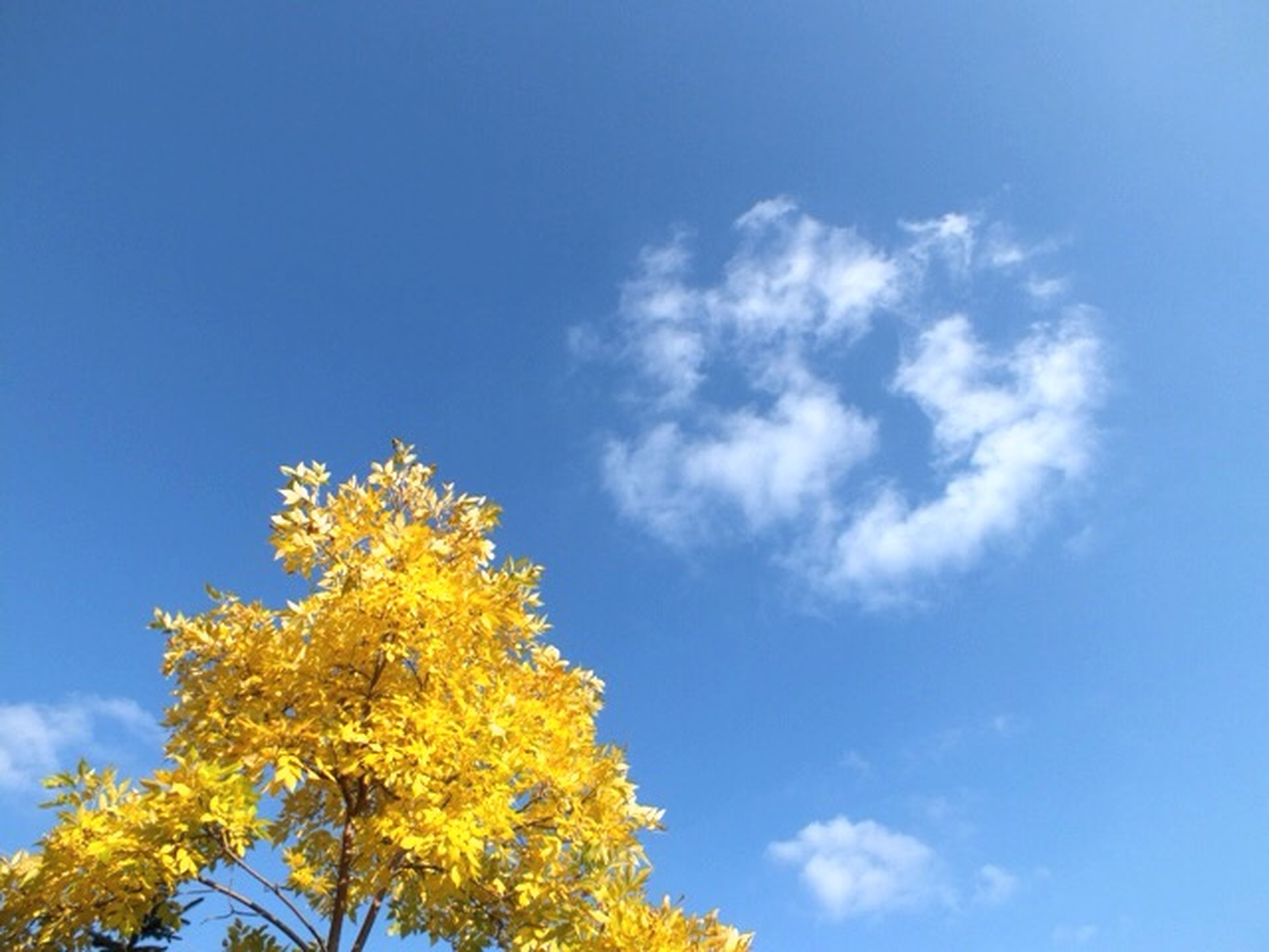 low angle view, sky, tree, blue, growth, beauty in nature, yellow, nature, cloud - sky, flower, tranquility, high section, cloud, scenics, branch, day, outdoors, treetop, no people, sunlight