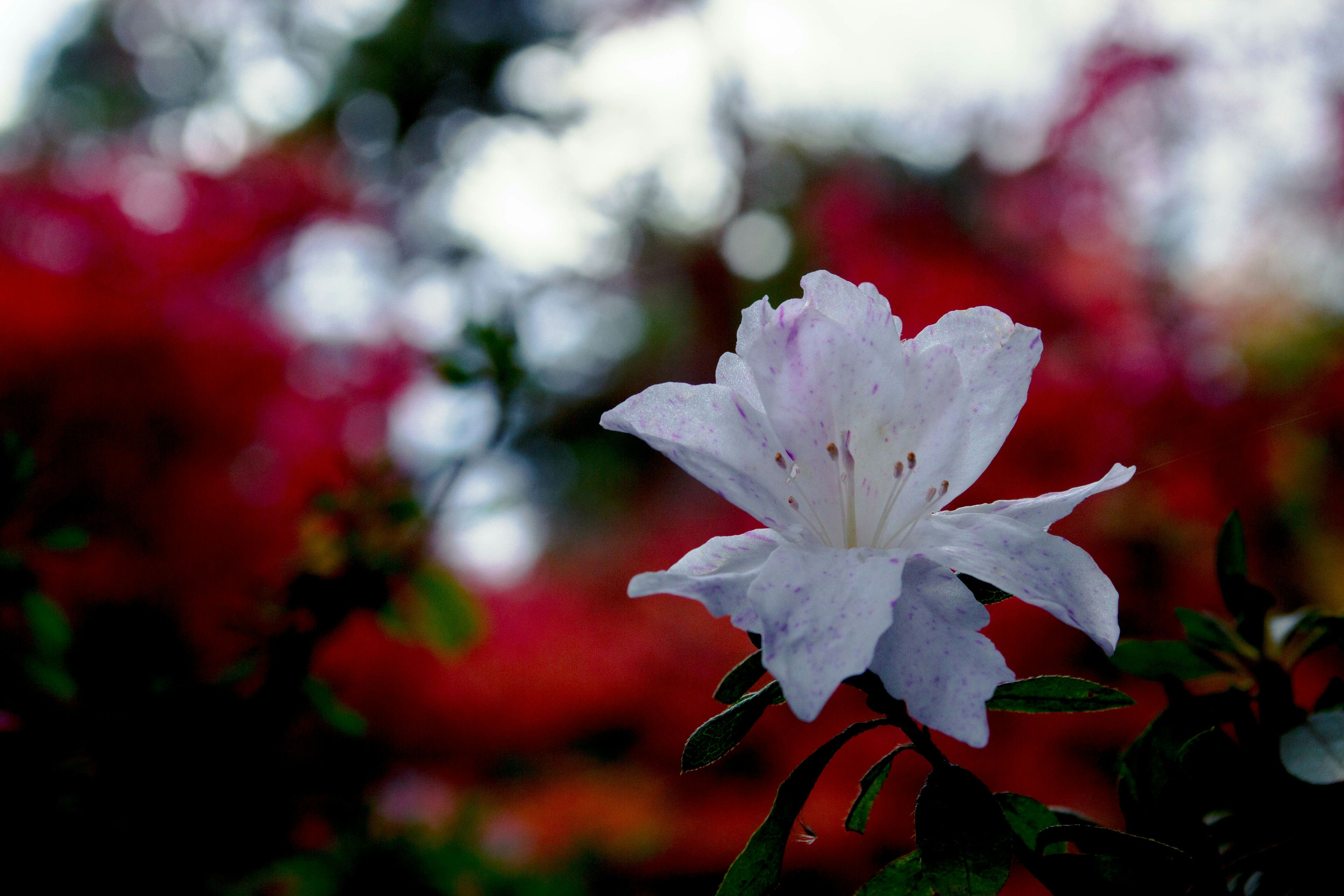 flower, petal, fragility, freshness, growth, flower head, close-up, focus on foreground, beauty in nature, nature, blooming, plant, single flower, in bloom, leaf, stamen, stem, season, outdoors, selective focus