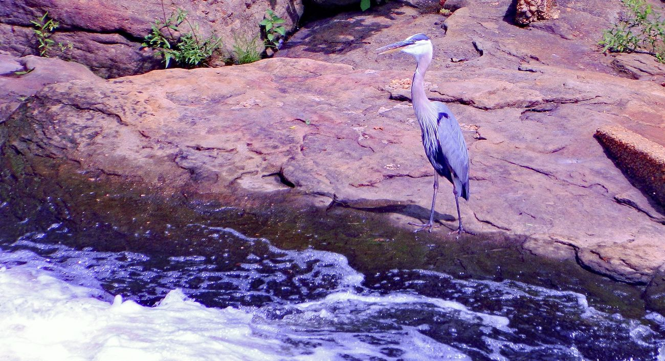 Looking for the fish Beauty In Nature Bird Blue Crane Day Feather  Fish Hunting Long Beak Long Legs Long Neck  Looking Mixed Media Nature Outdoors Rock Scanning Shores Stepping In Waiting Water Waves Wet White Wite Caps
