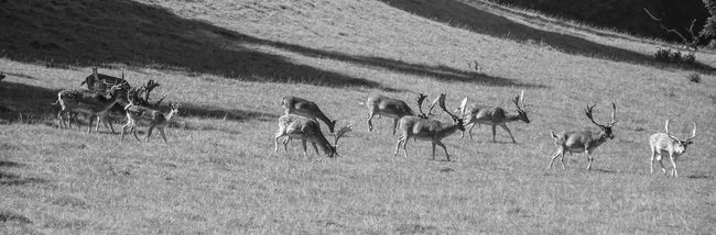 Animal Themes Animals In The Wild Antlers Beauty In Nature Blackandwhite Deer Field Grass Herd Monochrome Monochrome Photography Nature Nature Nature Photography Nature_collection Outdoors Shadow Wildlife Wildlife Photography