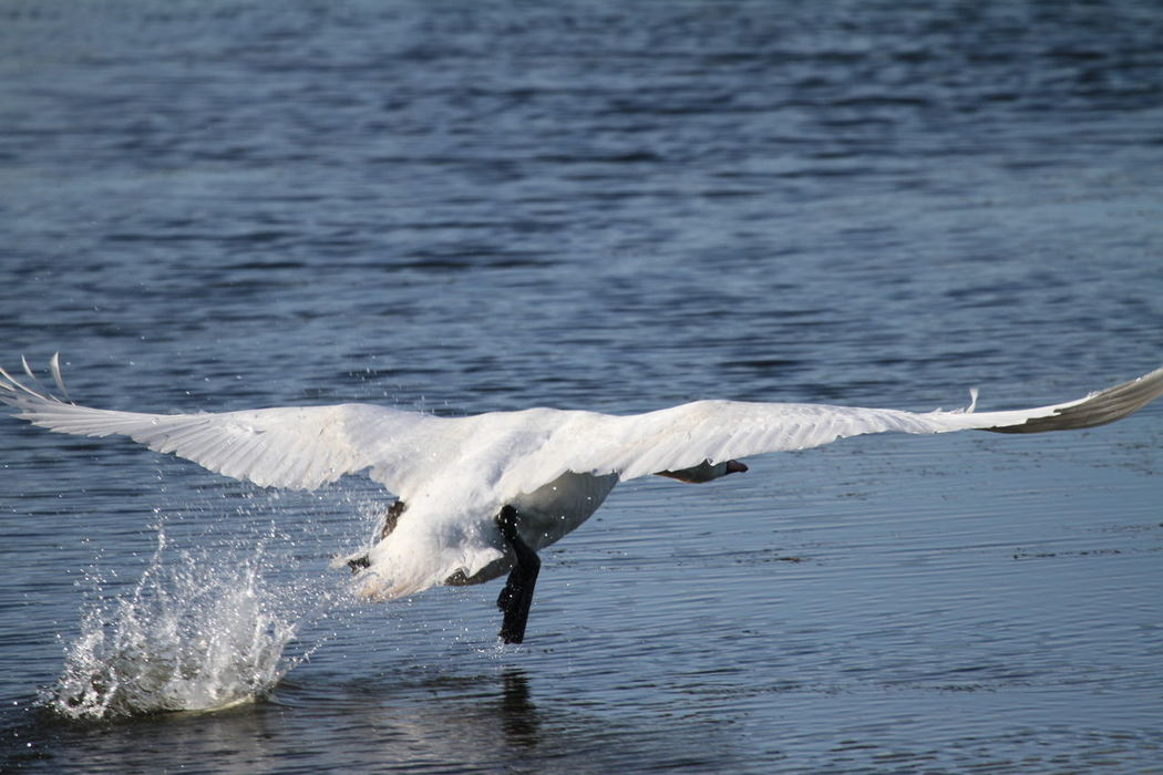Animal Themes Animal Wildlife Animals In The Wild Beauty In Nature Bird Close-up Day Flapping Flying Lake Mid-air Motion Nature No People One Animal Outdoors Spread Wings Swan Swan Taking Off Swans Water