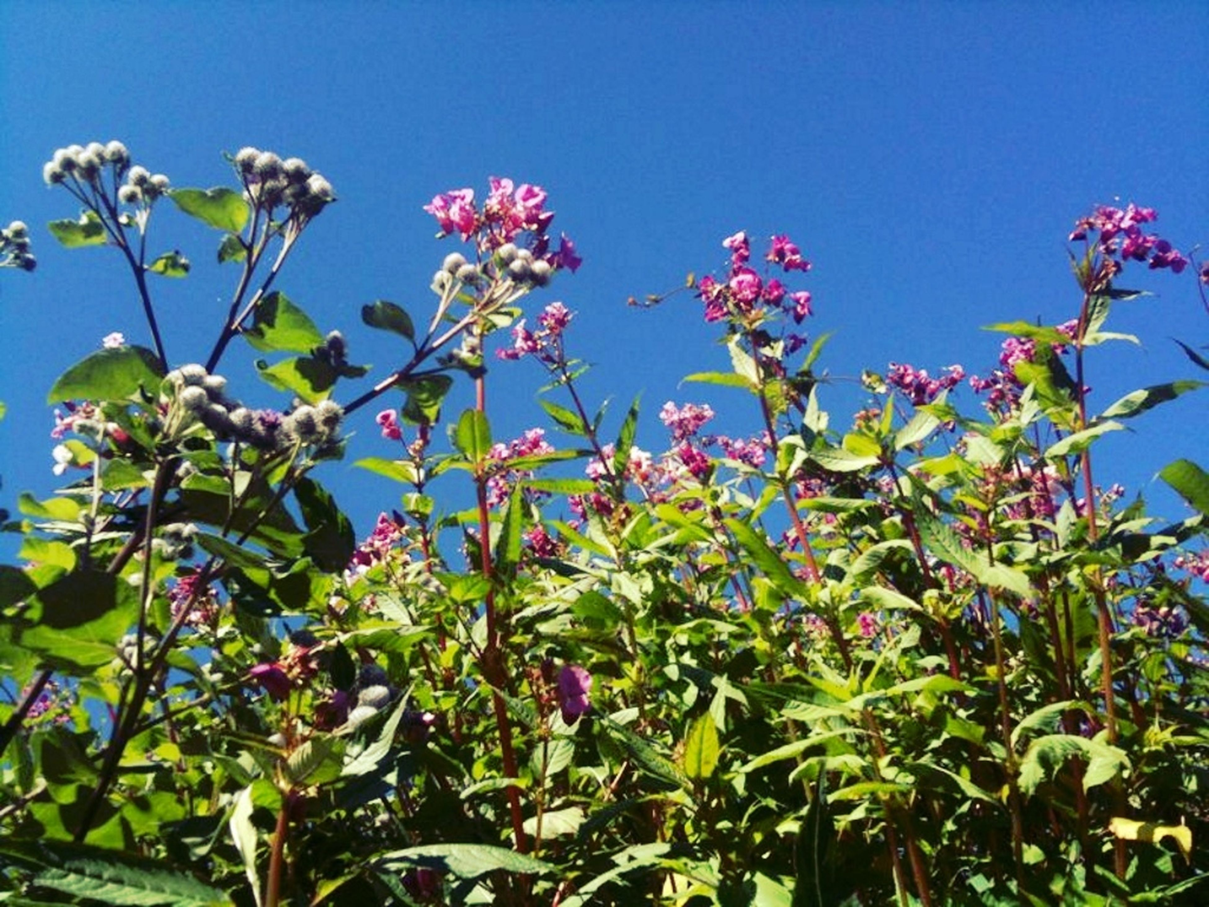 flower, growth, freshness, clear sky, fragility, blue, beauty in nature, low angle view, plant, nature, blooming, petal, leaf, in bloom, stem, pink color, blossom, copy space, day, sunlight