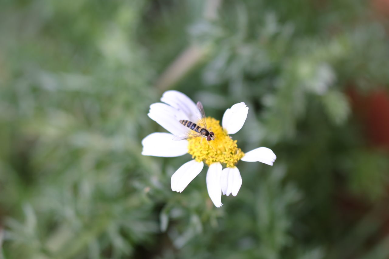 Syrphid on a daisy Animals In The Wild Blooming Daisy Flower Insect Nature One Animal Petal Plant Syrphidae