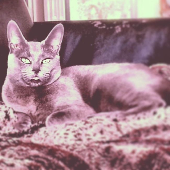 Keeping the grey theme going with our gorgeous cat. Isntshelovely Isntshebeautiful Grey Blue hernameisBlue leopardprint cat catlife kitty girlcat girlycat princess prettylady russianblue lounging chilling relaxed