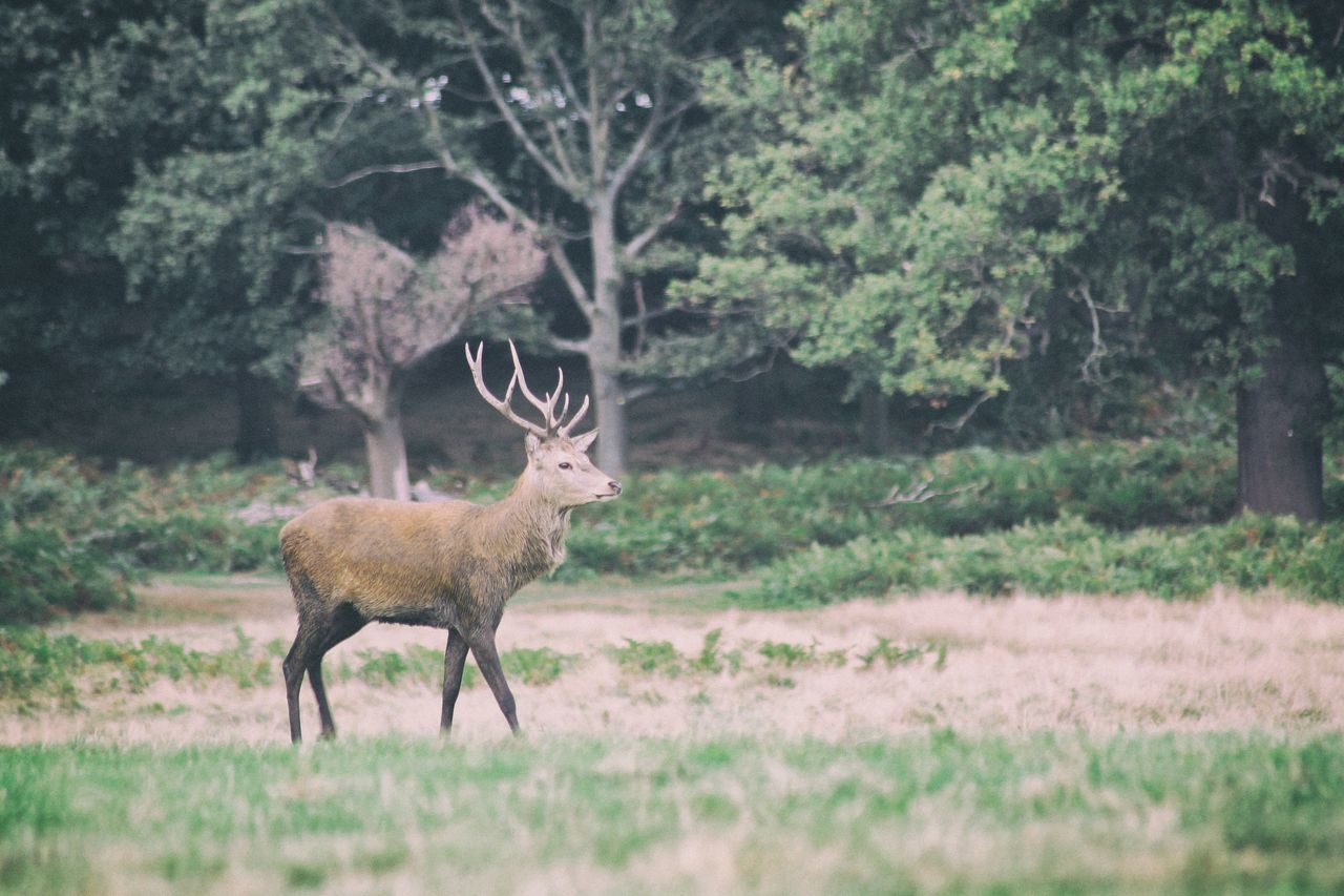Richmond Park early morning Animal Themes Animal Wildlife Animals In The Wild Beauty In Nature Deer EyeEm LOST IN London Forest Grass Mammal Nature One Animal Outdoors Richmond Park, London Stag Wild Wildlife Wildlife & Nature Wildlife Photography