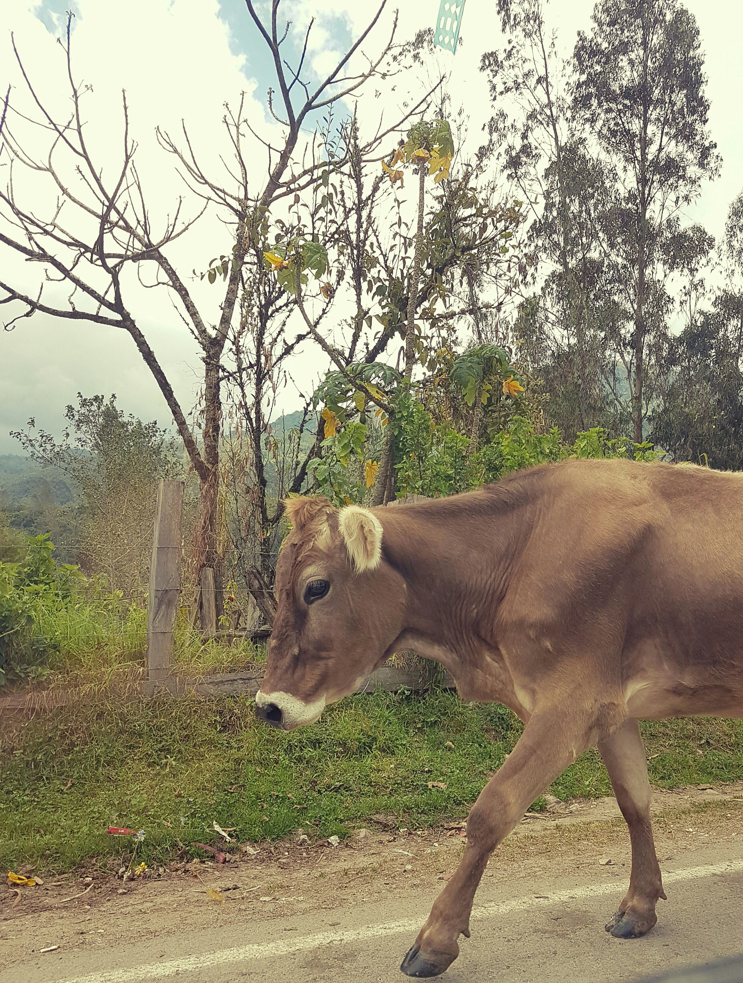 animal themes, one animal, mammal, tree, domestic animals, livestock, day, field, no people, standing, cow, outdoors, nature, full length, sky