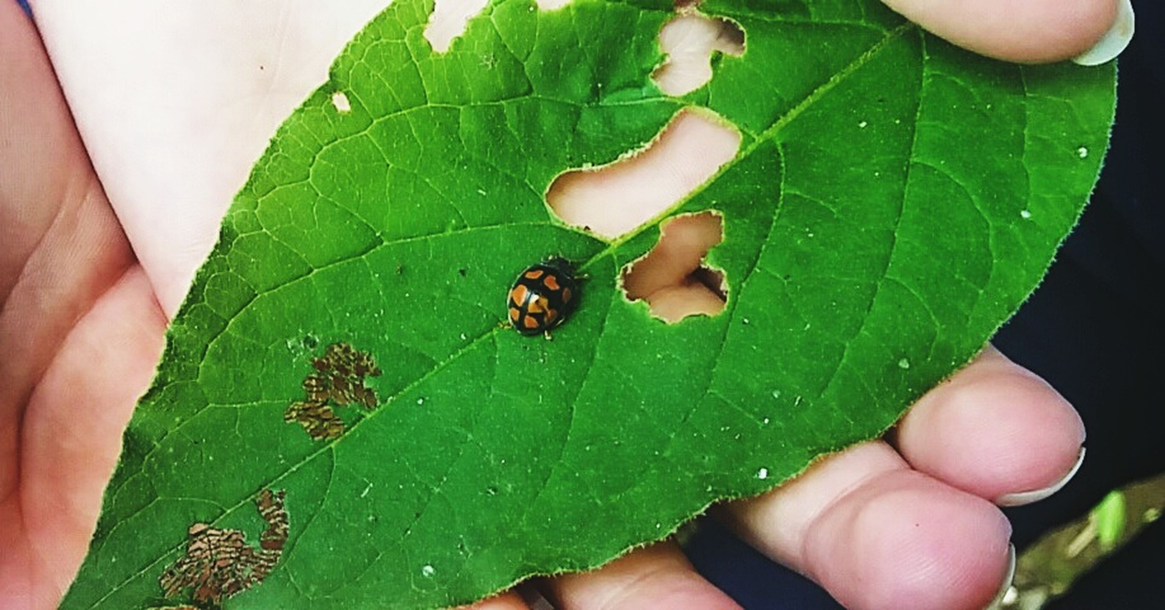 animal themes, person, one animal, animals in the wild, leaf, wildlife, insect, human finger, holding, green color, part of, unrecognizable person, close-up, cropped, personal perspective, leaf vein, high angle view