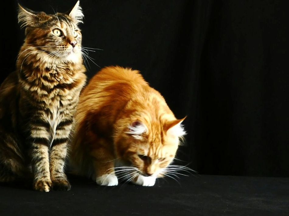 Chatons Chats Black Background Animal Themes Mammal Portrait Animal Hair Whisker Feline Kitten Paw Home Is Where My Cat Is Love My Cat Catladies Domestic Cat Cats Of EyeEm Maine Coon Cats Home Is Where The Cat Is Cats Of The Day Love My Cats Place Of Heart Mother & Daughter Pet Portraits