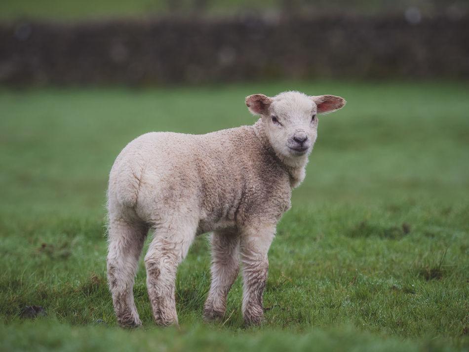 Baby Animal Baby Lamb Cute Animals Cute Baby Animals Farm Farm Life Farmland Lamb Lamb And Sh Lamb Fi Lambs Lambs And Sheep Lambs Playing And Relaxing Sheep And Lambs Spring Lamb Spring Lambs