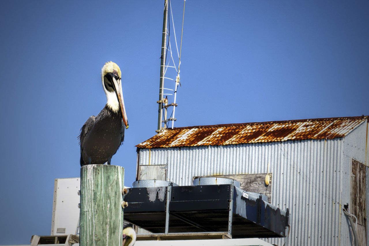 Makes Me Happy! Animal Themes Animals In The Wild Bird Blue Sky Clear Sky Coastal Living Inlet Waters Pelican Pelican Birds Pelican Love Perching Sony A6000