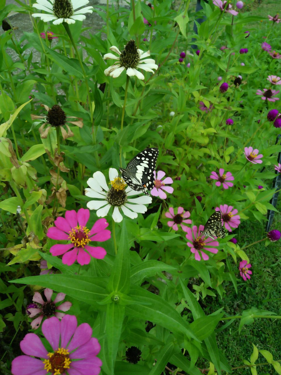 flower, insect, growth, fragility, freshness, nature, animal themes, petal, plant, animals in the wild, butterfly - insect, one animal, beauty in nature, pollination, high angle view, symbiotic relationship, no people, flower head, blooming, outdoors, day, eastern purple coneflower, zinnia