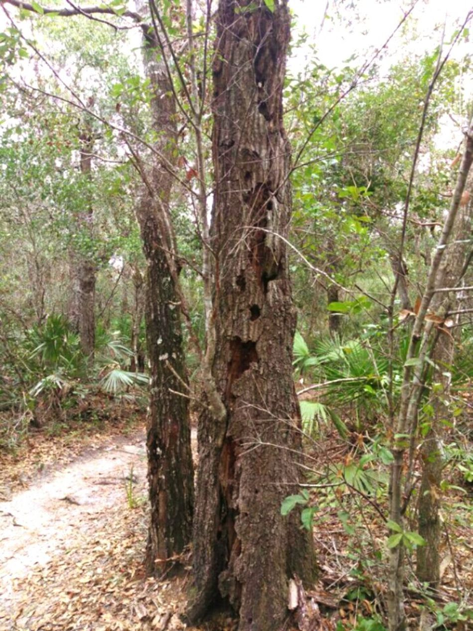 "Just a friendly tree in the woods on a bike/hiking trail, saying ""Hey everyone, thanks for visiting."" 🙋 Tree Nature Forest No People Beauty In Nature Floridatrail Florida Trees Hiking Trail Bike Trail Faces In Nature Tree Face Well Hello There Tree Good Day To All Of You... Outdoors Tree Life Funny Trees Faces In TreeFlorida Nature Silly Face Life Of A Tree Tree Trunk The Things You Find In The Woods New Smyrna Florida"