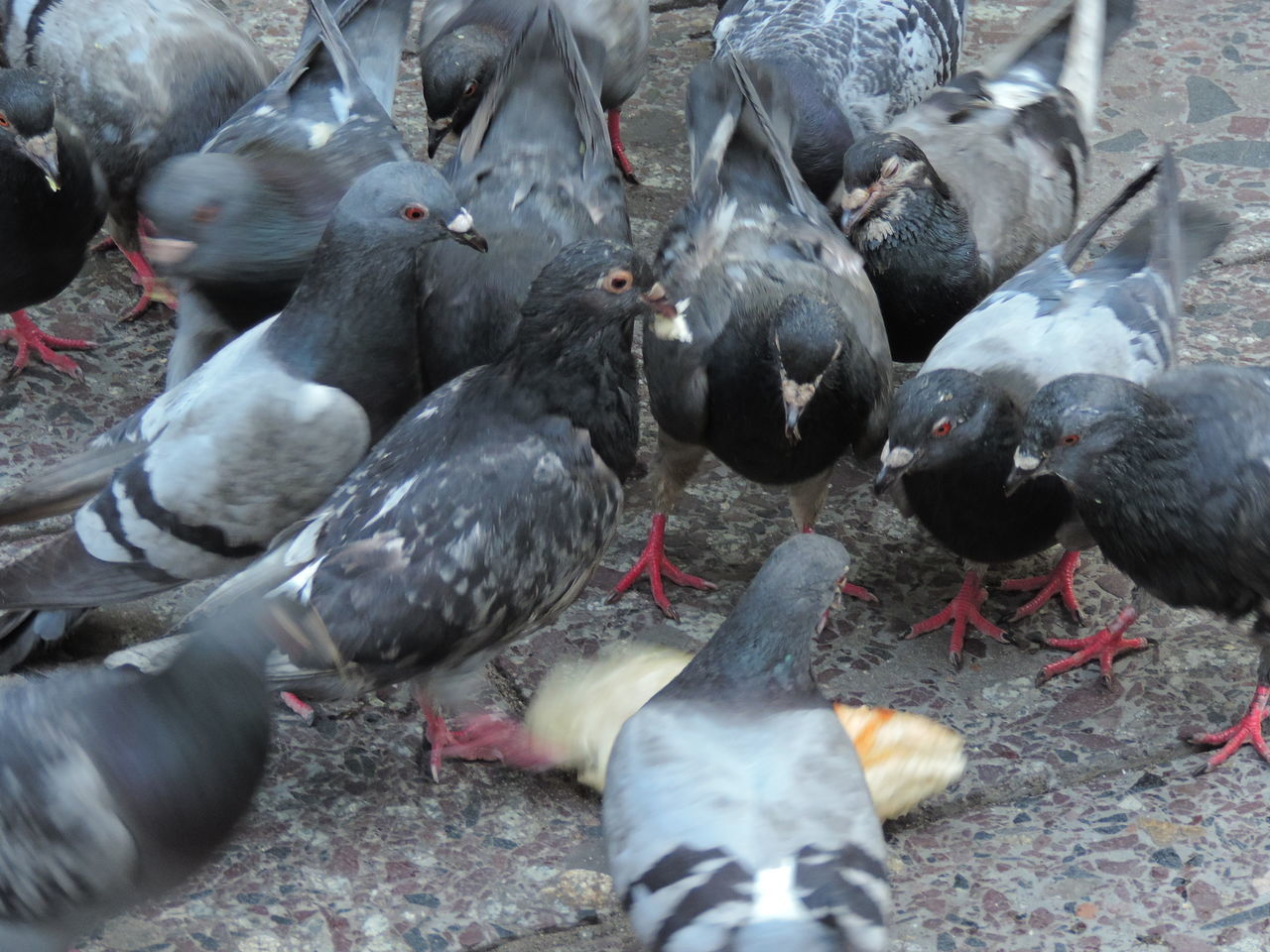 Bird Birds Eating Large Group Of Animals Munching No People Pigeons Pigeonslife
