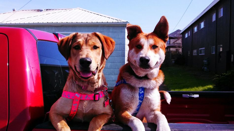 Cute Dogs Ready To Go Out For A Spin Puppy Puppies PuppyLove Happy Dogs Ready To Go Lets Go!