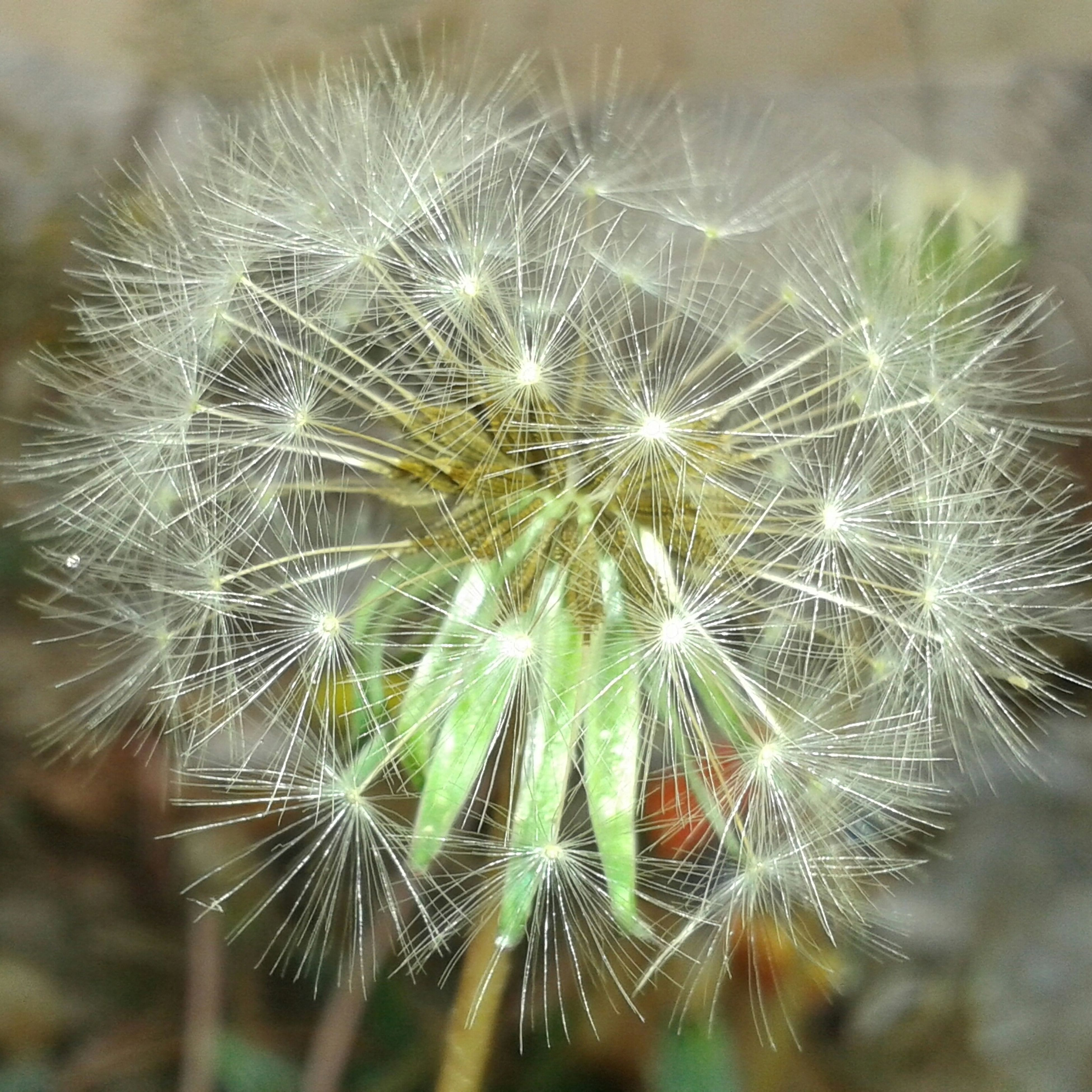 dandelion, fragility, flower, close-up, growth, focus on foreground, freshness, nature, beauty in nature, dandelion seed, flower head, plant, softness, selective focus, single flower, uncultivated, seed, wildflower, day, outdoors
