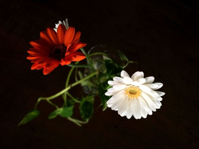 Gerbera Flower Flower Head Black Background Blossom Beauty In Nature Close-up No People Plant Freshness EyeEm Ready