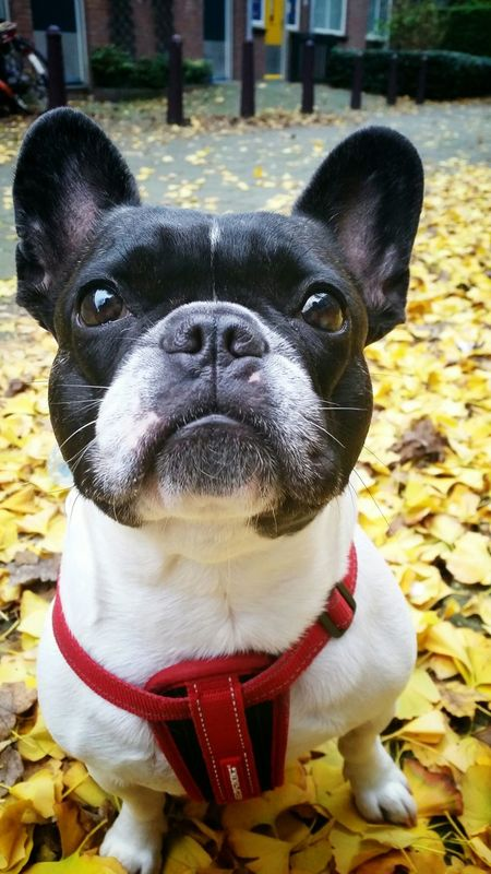 I am cute and I know it French Bulldog Dogs Of EyeEm Animals Dogs