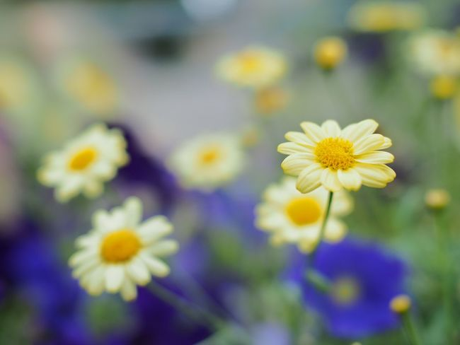 Yellow flowers Yellow Flower Flowers, Nature And Beauty Grass And Flowers Flowers,Plants & Garden Flower Flowers Shallow Depth Of Field Selective Focus Flower Photography