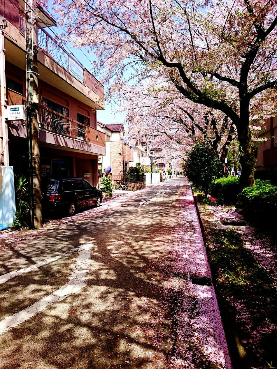 Cherryblossom 🌸 Petals🌸 Petals🌸 Cherry Blossoms Disperse Springtime Nature Beauty In Nature Road Street Japan Photography My Smartphone Life Mobile Photography Nature_collectionPink Pink Flower 🌸 Bud Gather CaptureTheMoment Capturethefeeling Tree Carpet Pinkroad