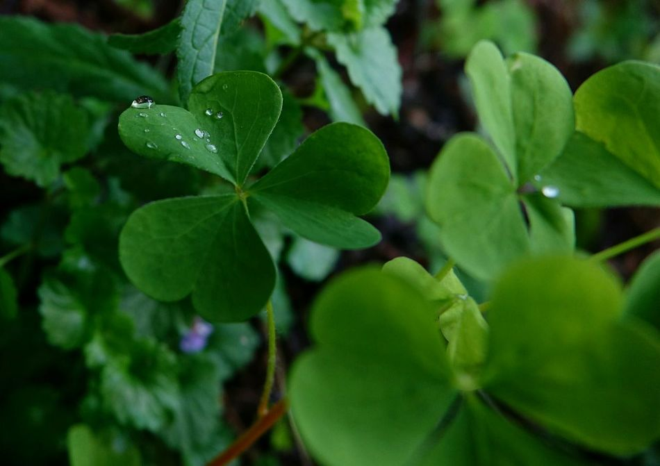 Beautiful stock photos of st patricks day, Beauty In Nature, Canada, Close-Up, Clover