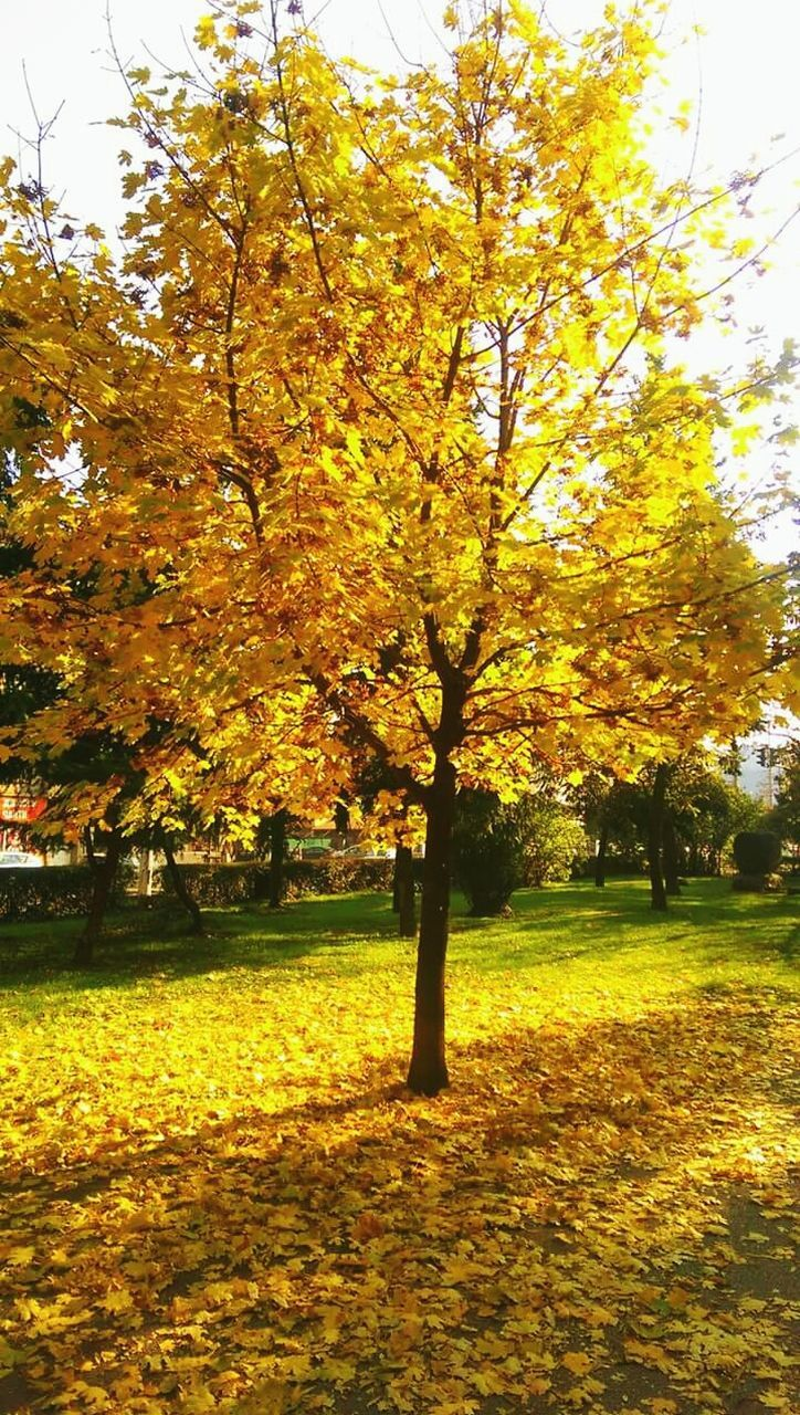 autumn, tree, beauty in nature, change, nature, tranquility, leaf, scenics, tranquil scene, majestic, outdoors, no people, idyllic, yellow, growth, branch, day, park - man made space, grass, travel destinations, landscape, sky, maple