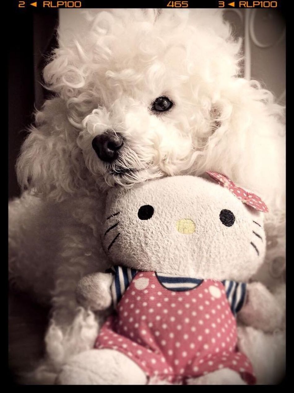 Dog Pets One Animal Animal Themes Indoors  Stuffed Toy Teddy Bear Home Interior Toy Close-up Animal Representation Looking Fluffy Softness No People Poodletoy White Poodle Love Poodle