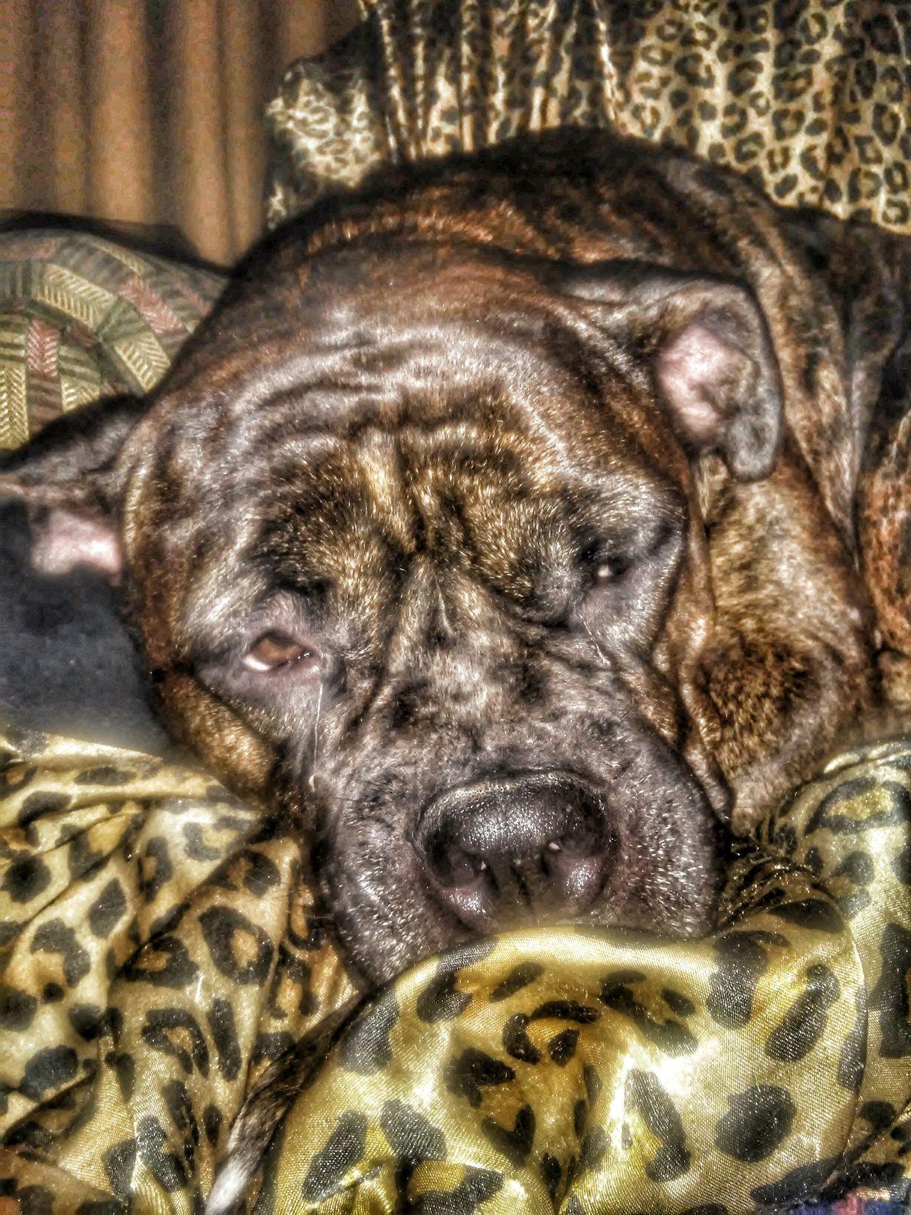 Zosa Presa Canario I Love My Dog❤ Sleepytime