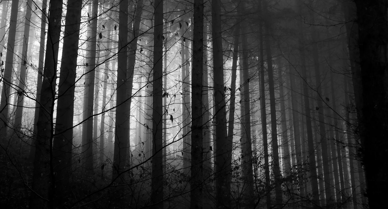 Blackandwhite Forest In The Forest Mystery Foggy