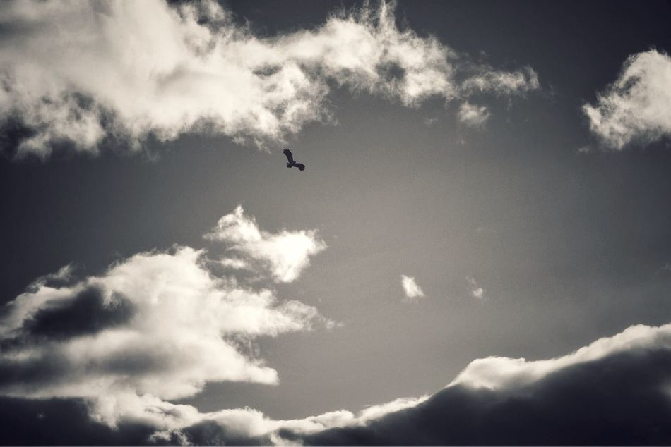 Golden Eagle over Rannoch Moor Eagle Perthshire Highlands Scotland Tranquility Sky And Clouds Sky Snapseed Blackandwhite Bird Bird Photography