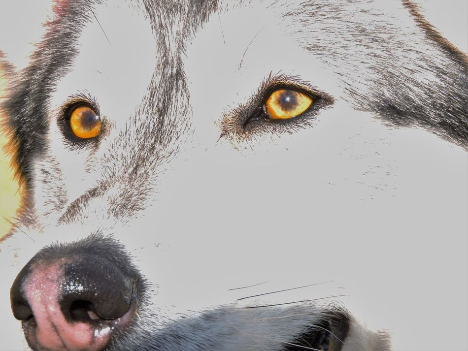 Animal Eye Close-up Dog Fire Eye Husky Mammal Orange Pets Portrait