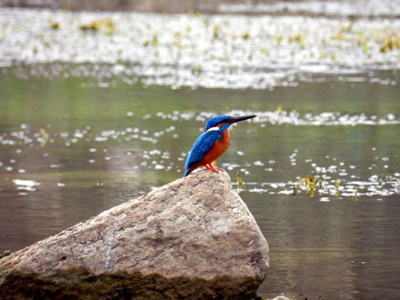 one animal, bird, animals in the wild, animal themes, focus on foreground, animal wildlife, kingfisher, perching, day, water, lake, nature, beauty in nature, full length, outdoors, no people, close-up